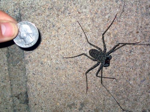 ScorpionSpider